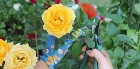 Rosen schneiden: Gelbe Rose mit Gartenschere geschnitten