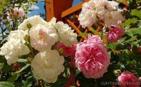 Rosa und weiße Rosen im Sommer