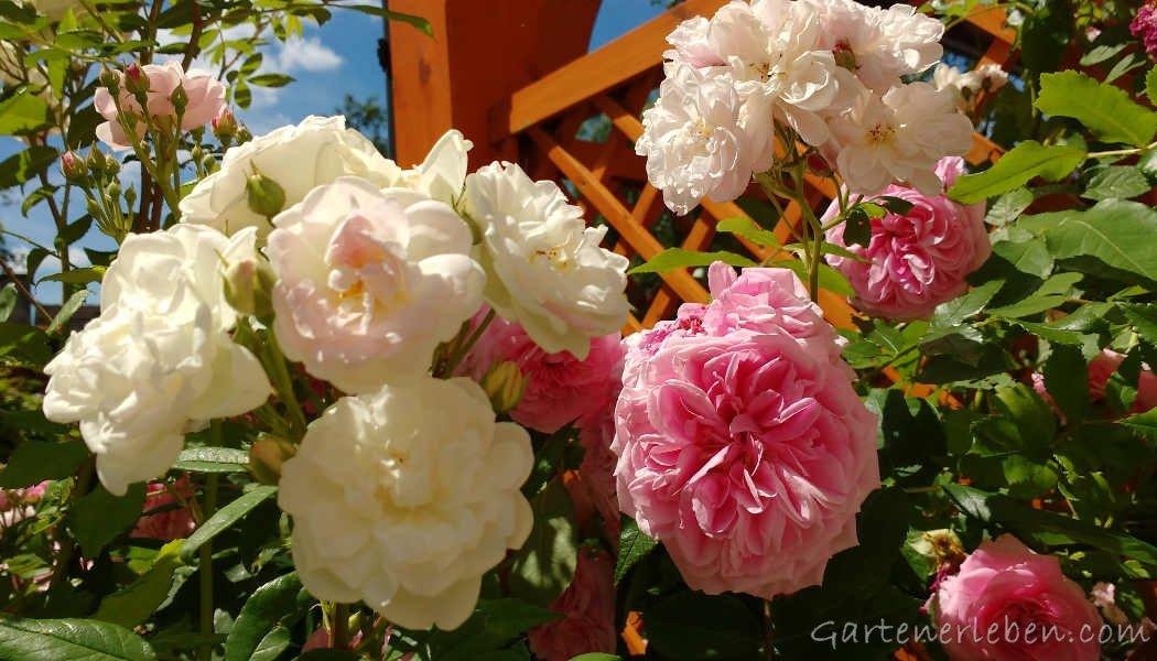 rosen schneiden praktische tipps f r sch n bl hende rosen. Black Bedroom Furniture Sets. Home Design Ideas