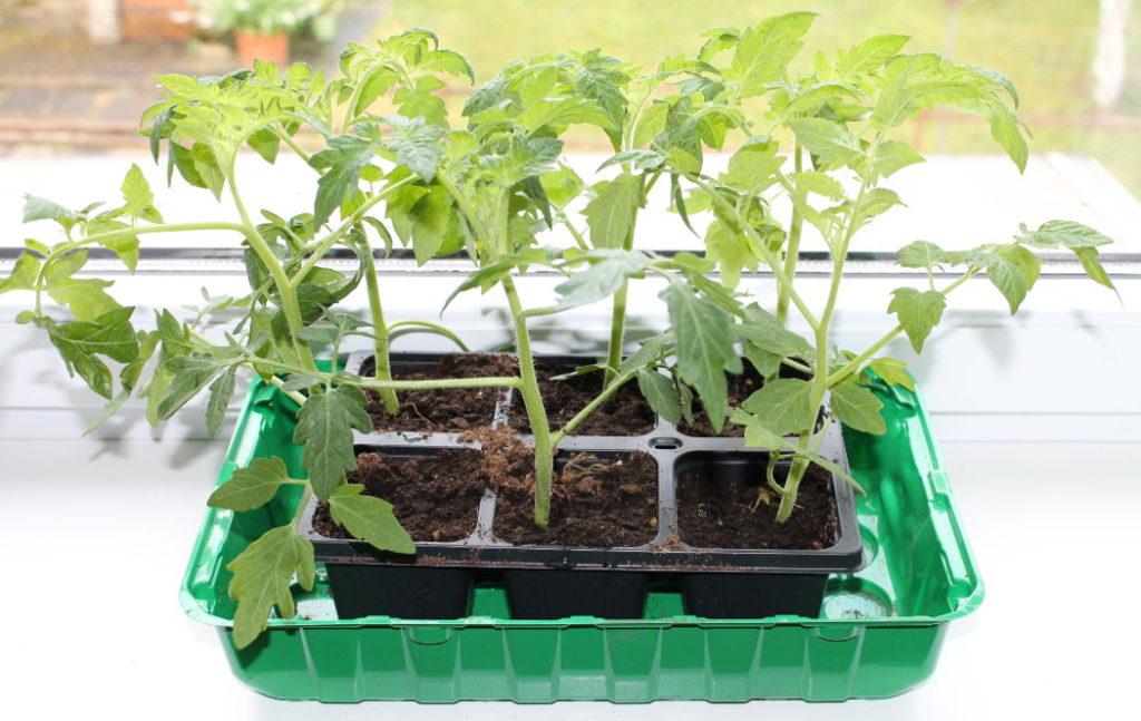 Tomaten ziehen am Fensterbrett