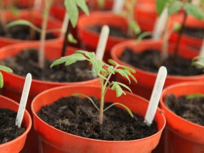 tomaten ziehen in kleinen Töpfen